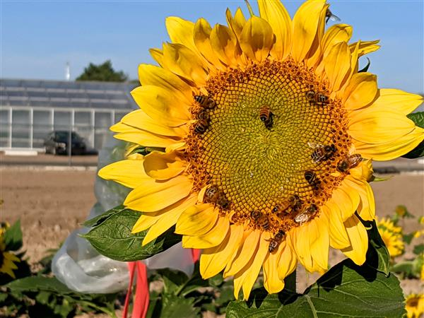 large sunflower head in front of research center